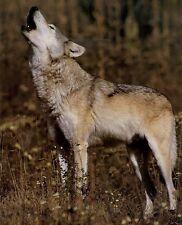 Howling Grey Wolf: 8x10 In. Wildlife Print