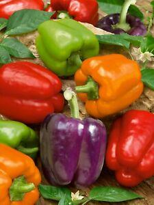 25 Rainbow Sweet Mini Bell Pepper Seeds