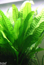 5 x JAVA FERN live aquarium plant coldwater or tropical bogwood wood fish tank