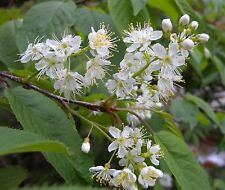 SEEDS 5 graines de CERISIER DE L'AMOUR (Prunus Maackii) MANCHURIAN CHERRY