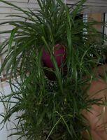 Exotic Plants Combination! - Pregnant Onion + Spider/Airplane Plant + BONUS!