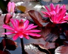 RED FLARE WATER LILY Nymphaea Tropical Perennial Waterplant Lotus Night 5 Seeds
