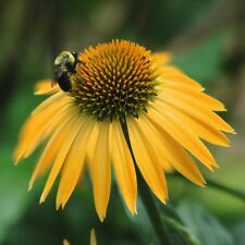 4 Harvest Moon  Coneflower/ Echinacea in 4 inch cups (one plant per pot)