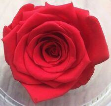1 Real Preserved Red Rose wholesale forever eternal lux flower that lasts a year