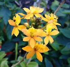 Yellow Crucifix/Epidendrum orchid Gorgeous Flower  EASY TO GROW