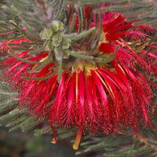 Calothamnus quadrifidus dwarf red form native plant in 50mm pot