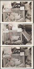 Lot of 3 Vintage Photos 3 Siamese Kitten Cats Woodstock Mid Summer Show 664954