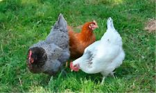 New Listing12 Fresh And Fertile Chicken Hatching Eggs Excellent Layer Breeds