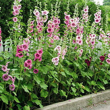 Kings Seeds - Hollyhock Single Mixed - 75 Seeds
