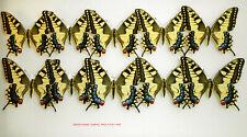 PAPILIO MACHAON MARBELLENSIS(=hispanicus) *1 PAIR spring gen.*Andalusia, Sevilla