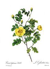 Botanical Print, Redoute Roses, Rosa Eglanteria Luteola. 1978 reproduction print