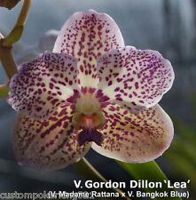 """Vanda, V. Gordon Dillon """"Lea"""" X V. Beeva, in 2"""" pot Blue Tones, picts of parents"""