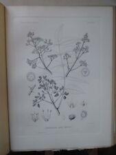 Vintage Print,PLATE 29,PRICKLY ASH,Silva,Trees,1st Ed.c1900