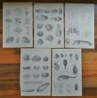 Antique prints - 19th century Victorian era prints Shells Sea life   - Decoupage