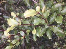 Myrsine australis - 50 seeds - red matipo - mapou - fresh 2019 seeds