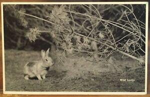 Vintage Dutch Postcard European WILD RABBIT nr Pine Konijn Coney 1958 B&W Litho