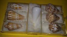 Conchiglia Shell CONUS INSCRIPTUS Serie specialissima di 7 esemplari opercolati