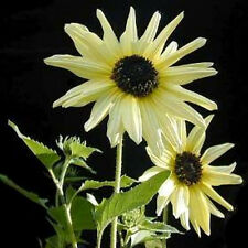 25 Italian White Sunflower Helianthus Debilis Light Yellow & Brown Flower Seeds
