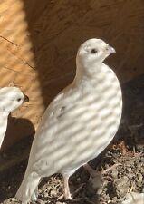 6 RARE!! WHITE BOBWHITE Quail Fertile Hatching Eggs Certified Ready NOW !!!