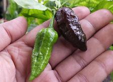 Rare Black Naga Jolokia Chilli: One of the hottest Chilli Pepper in the World