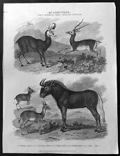 1811 John Wilkes Antique Print of Mammals - Antelopes, Chamois, Gnu