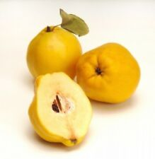 Giant Delicious Quince Tree 5-Finest Seeds / Very Aromatic & Juicy / UK Seller