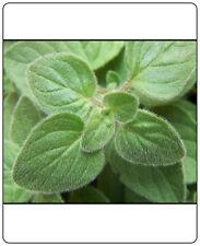 Oregano Greek Great Garden Herb 1,200 Seeds