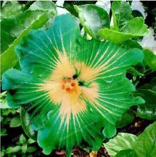 50 Pc Hibiscus Rosa-Sinensis Flower seeds hibiscus tree seeds Fresh Green