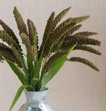 75+ Setaria Italica Flower Seeds /  Annual for Fresh and Dried Arrangement