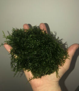 Christmas Moss Grown In My Tanks Submerged   Portion will be about 1/2 handful