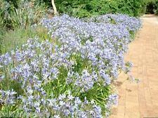 3 New Agapanthus Adelaide light mid blue flowers, garden plant ex 2 Litre pots