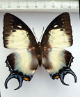 Nymphalidae ,Polyura dehaani ssp.carabus WEIBCHEN,Mt.Dempo, Sumatra,n240