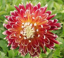 5 Dahlia Akita Red Summer Flowering Hardy Perennial Garden Border Bulbs Tubers