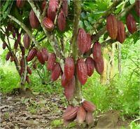 Cacao Cocoa Chocolate Fruit Tree  LIVE TREE 2'-3' Tall