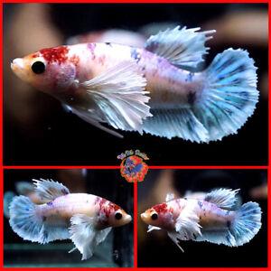 Live Betta Fish Female Fancy TANCHO Candy Koi Dumbo Ears Halfmoon Plakat #Y283