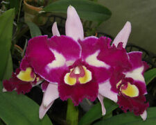 Blc. Chinese Beauty 'Orchid's Queen' (K18)