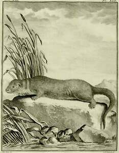 1771 Antique Buffon copper engraving of an OTTER. OTTERS. Forest Animals. Fauna
