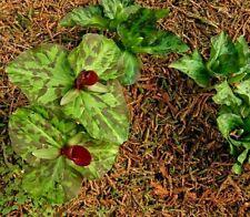 RED TRILLIUM CHLOROPETALUM Marbled Wake Robin Wildflower Native 3 Rare Seeds