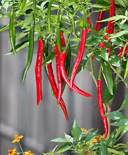 UK semi di ortaggi-Hot Chilli Pepper -- CAYENNE RED LONG SLIM 10 semi Finest