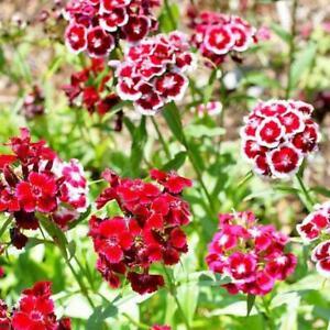Dianthus Sweet William Tall Mix Seeds Cottage Garden