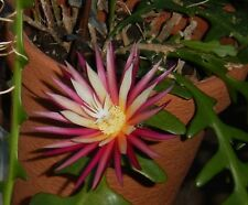 Anguliger Blattkaktus Epiphyllum im Wurzelballen