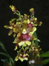 Oncidium _Space Race_uncommon distinctive bloom easy to grow hardy