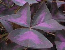 10 BULBS Oxalis triangularis -shamrock Deep purple leaves with a magenta center