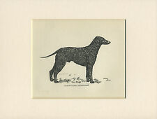 CURLY COATED RETRIEVER OLD DOG PRINT FROM 1912 by ARTHUR WARDLE READY MOUNTED