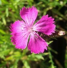 Dianthus seguieri in 50mm forestry tube perennial  cottage plant