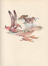 1937 BIRD PRINT ~ DUNLIN FEEDING & BATHING