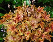 HEUCHERELLA 'Brass Lantern' - Hardy Perennial Plant - ex 1 Litre Pot