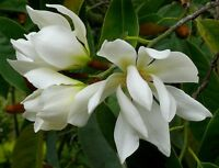 Michelia Excelsa Tree, The Temple Magnolia Doltsopa 10 Seeds, Very Fragrant