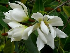 Michelia Excelsa Tree, The Temple Magnolia Doltsopa 10 Seeds, Very Fragrant!