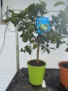 Citrus Lime Tree (4L Pots) Stands 26-30 Inches including pot